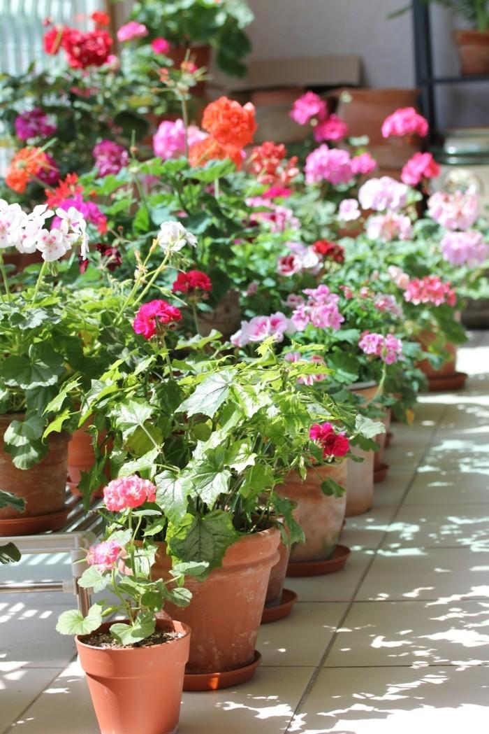geranien in unterschiedlichen farben sind schöne hingucker