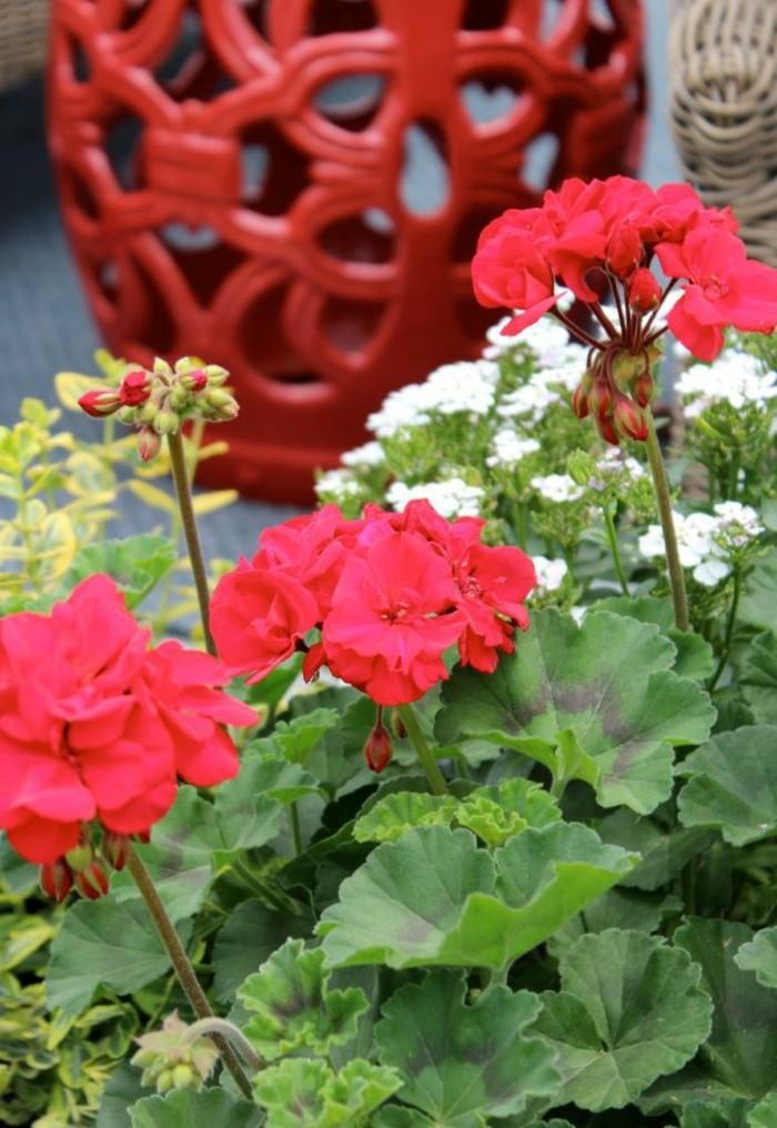 Geranien andauernde sch nheit f r garten und balkon for Geranien pflanzen