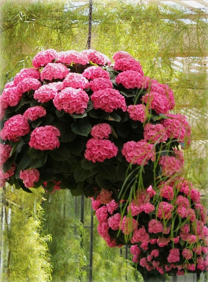 hortensien als kübelpflanze dekorieren balkon und terrasse