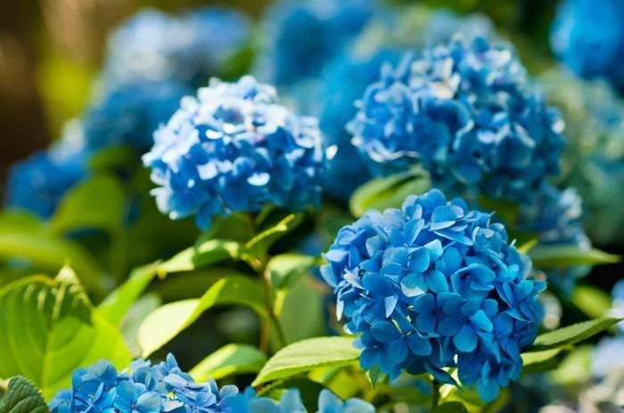 hortensien frische gartenideen mit gartenblumen