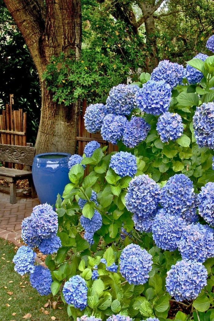 hortensien in blau machen einen wunderschönen eindruck