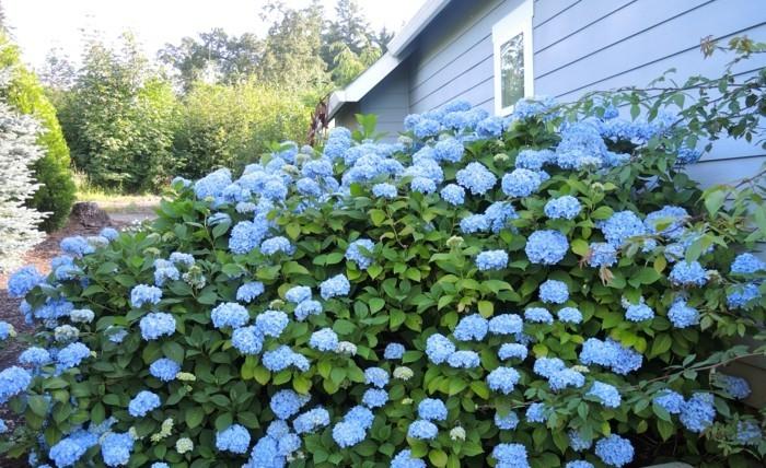 hortensien in blau sträucher verschönern den außenbereich