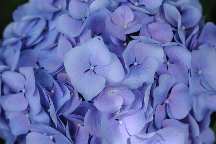 hortensien unterschiedliche arten in blaunuancen