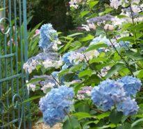 Blau gefärbte Hortensien? Wie geht das?
