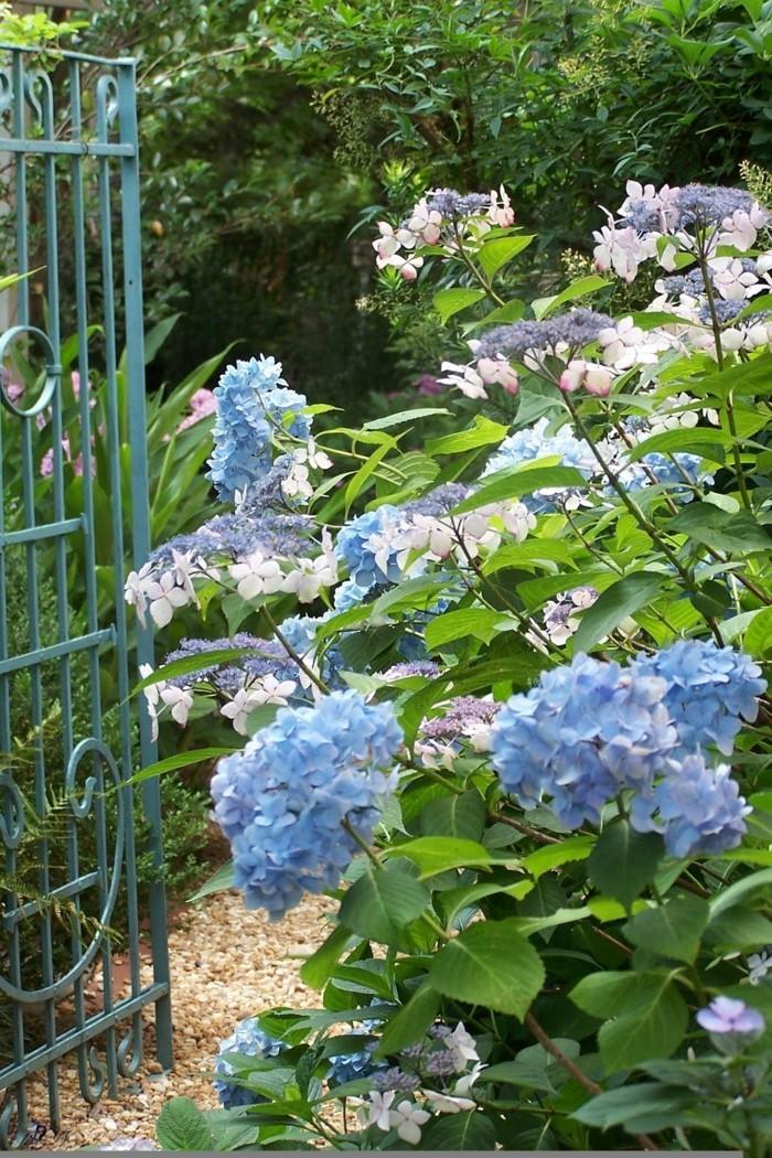 hortensien in blau verleihen dem außenbereich einen schönen look
