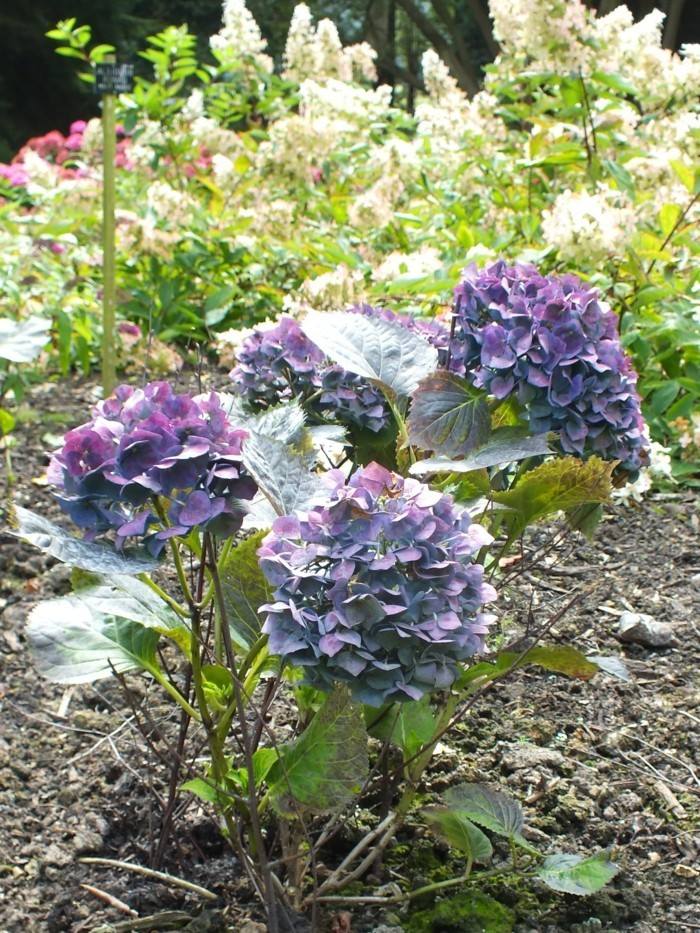 hortensien in blaunuancen als schöne gartenpflanzen