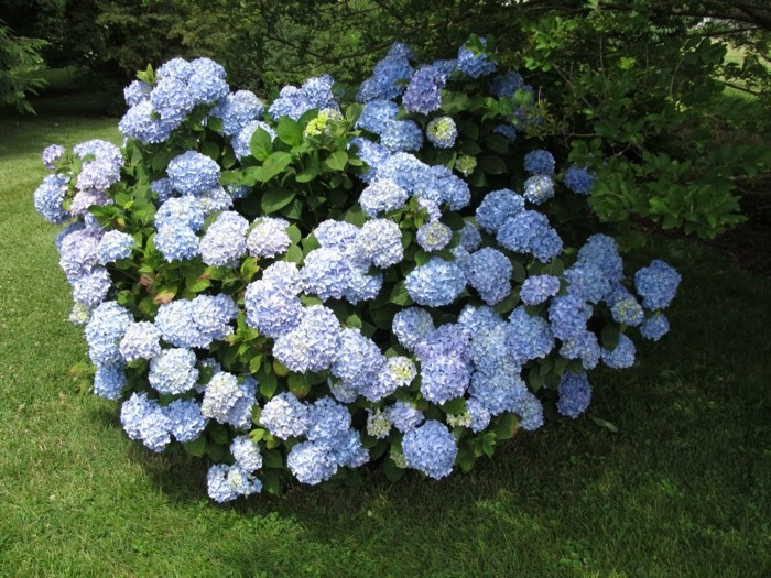 hortensien in hellblau fesseln den blick im garten im sommer