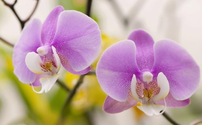 orchidee in wunderschöner lilanuance
