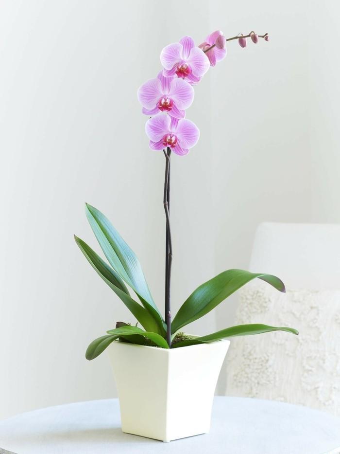 orchidee mit lila blüte scöne zimmerpflanzen