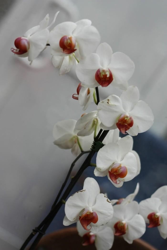 orchidee phalaenopsis orchid mit weißen blüten