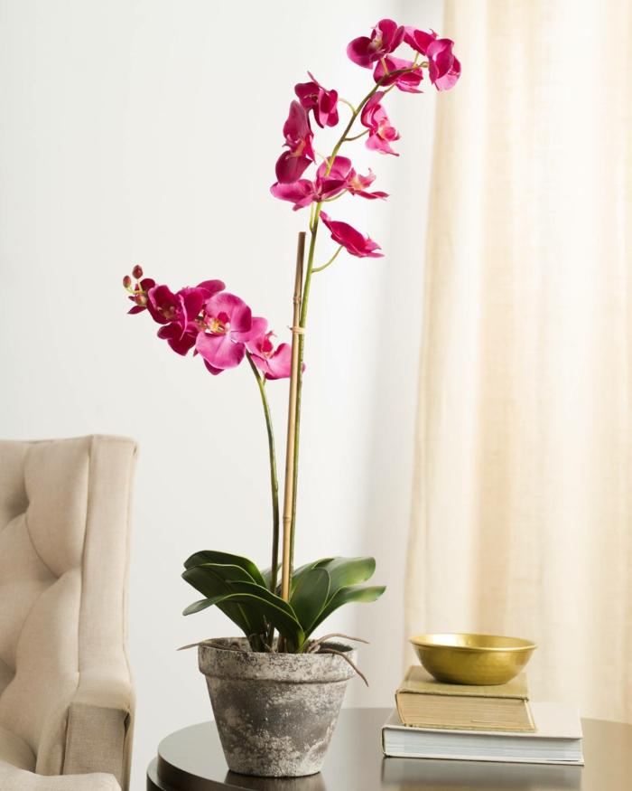 orchidee zu hause züchten Phalaenopsis
