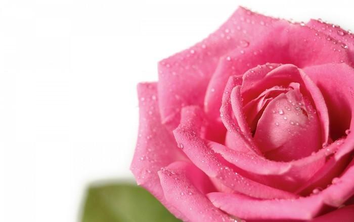 rosenöl titelbild