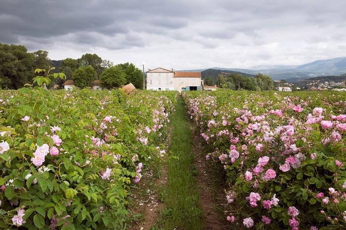 rosenöl tradition und pflege