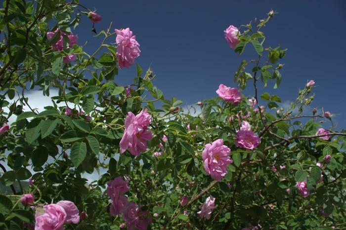 rosenöltradition früh am morgen
