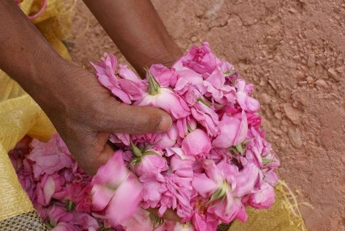 rosenöltradition gepflückt