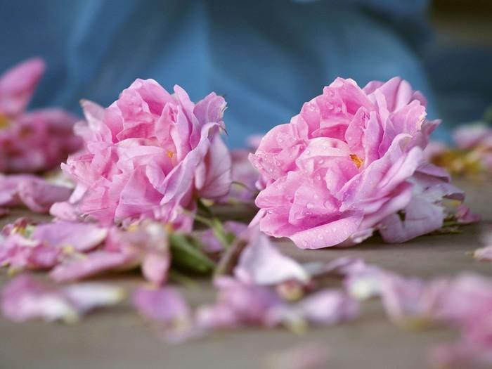 rosenöltradition sentifolia
