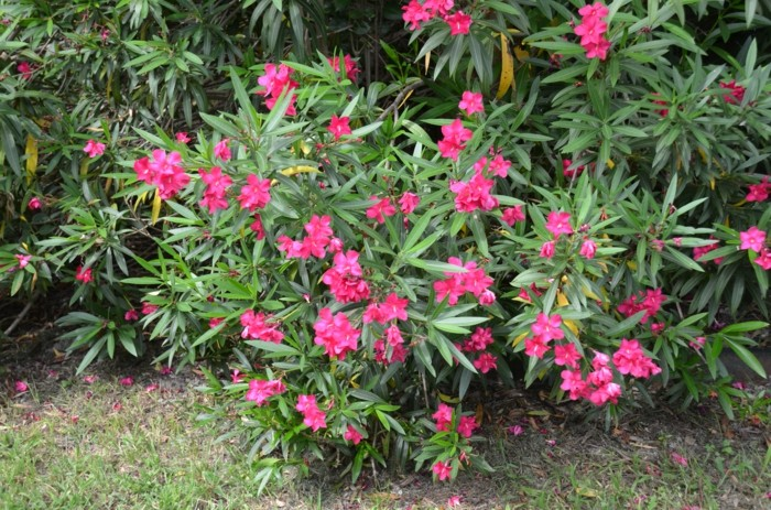 solitärpflanzen oleander als beetpflanze verschönert den außenbereich
