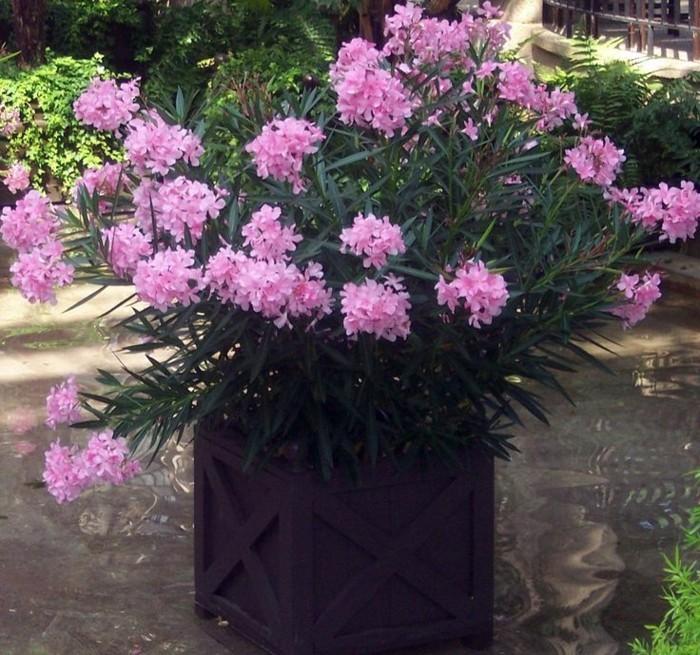 solitärpflanzen oleander im blumentopf