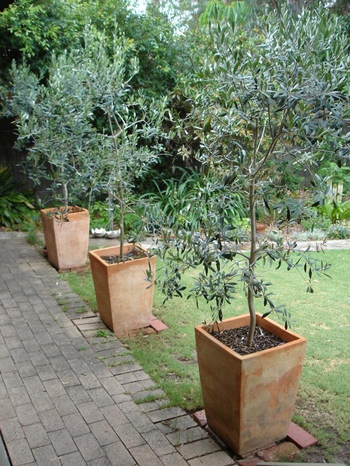 solitärpflanzen olivenbaum in kübel schmückt den garten