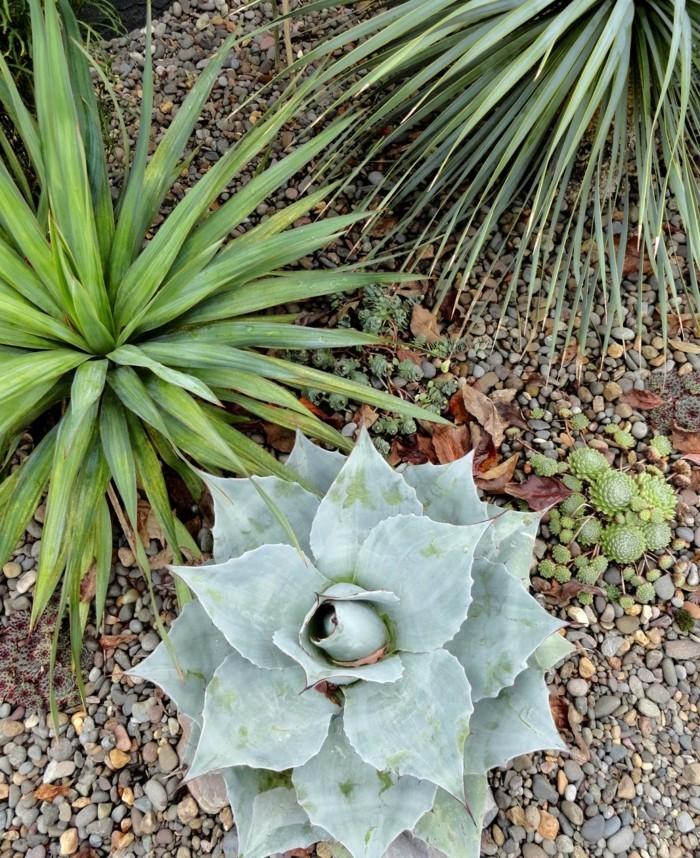 sukkulenten arten für draußen agave und kiessteine