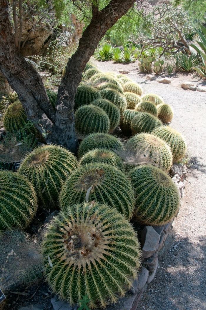 sukkulenten für draußen kugelkakteen züchten