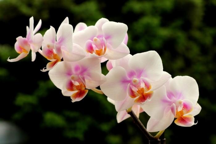 zimmerpflanzen orchidee mit vielen blüten in sanften farbtönen