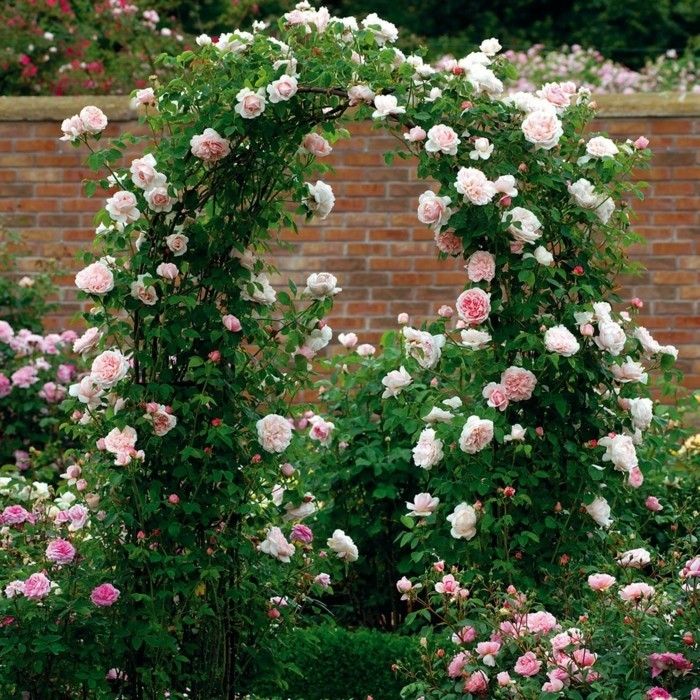 The Generous Gardener kletterrose bogenförmig