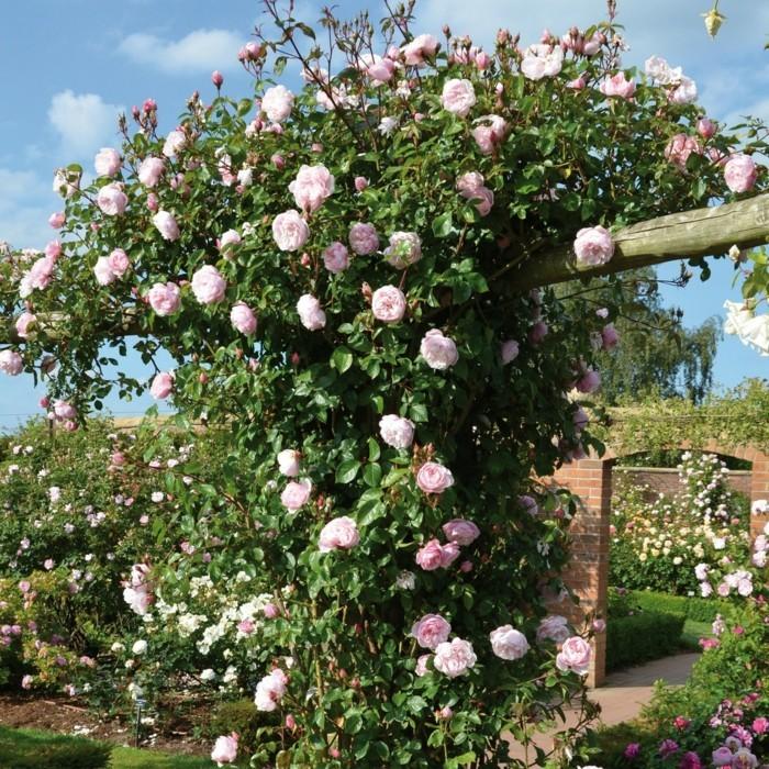 The Generous Gardener kletterrose eingang