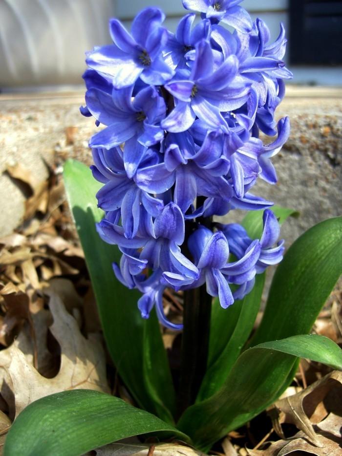 beliebte blumen für den garten Hyazinthen