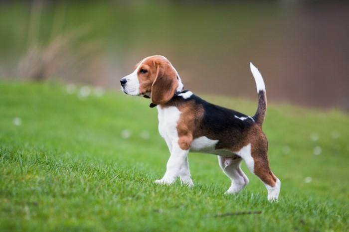 beliebte hunderassen beagle2
