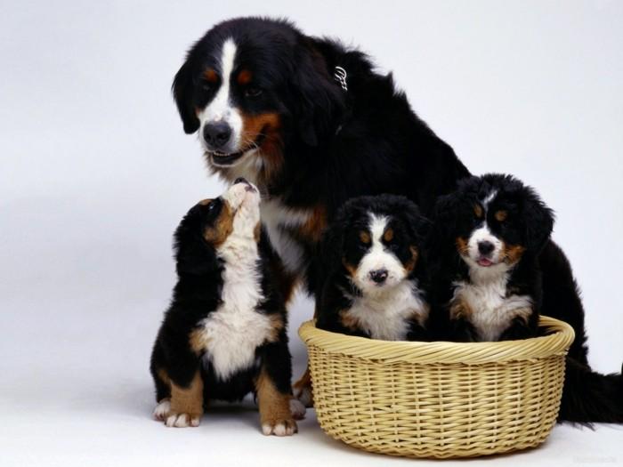 beliebte hunderassen berner sennenhund 3
