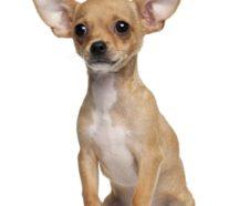 Beliebte Hunderassen – Top 10 der Vierbeiner 2017