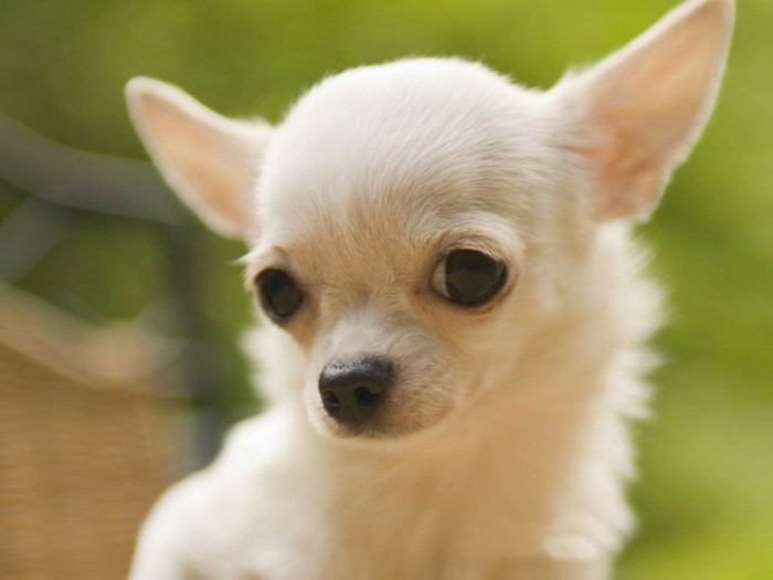 beliebte hunderassen chihuahua charakter