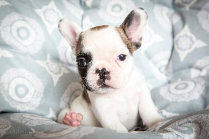 beliebte hunderassen chihuahua frany;sische bulldoge 2