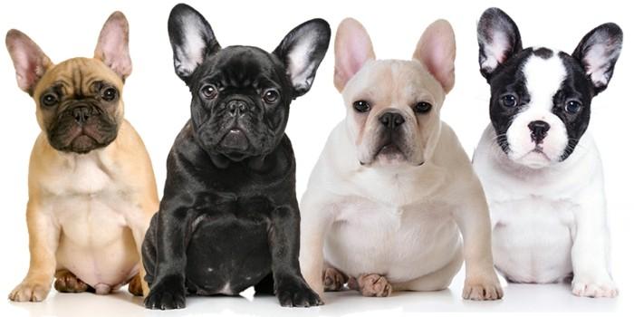 beliebte hunderassen chihuahua frany;sische bulldoge