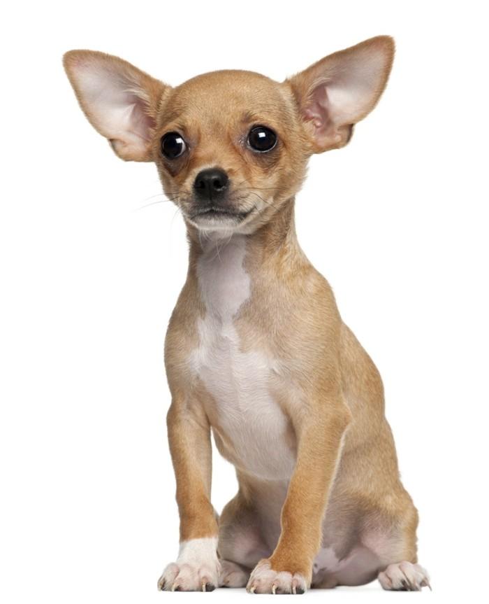 beliebte hunderassen chihuahua