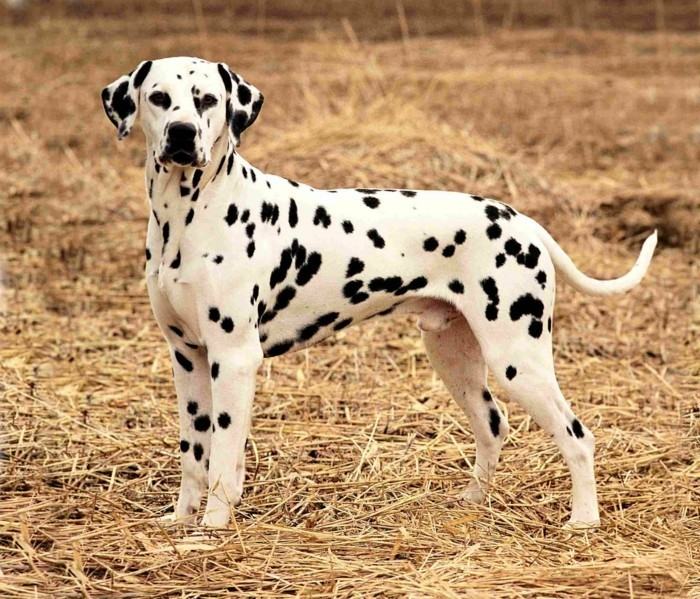 beliebte hunderassen dalmatiner
