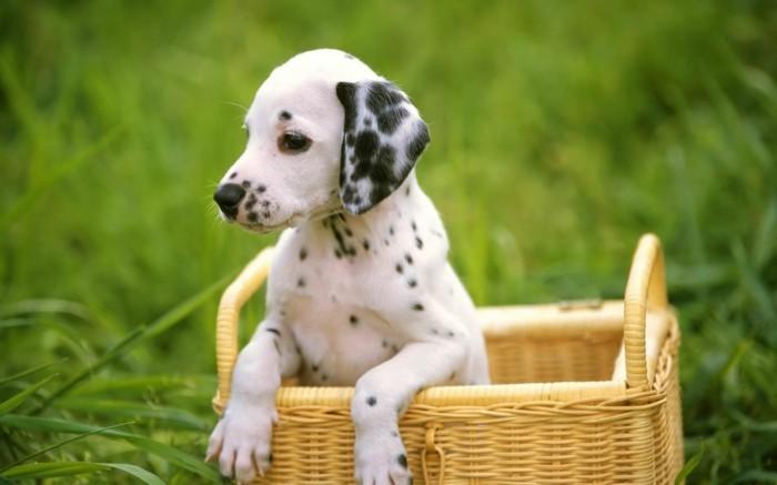 beliebte hunderassen dalmatiner2