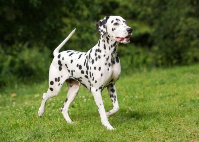 beliebte hunderassen dalmatiner3