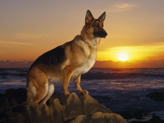 beliebte hunderassen deutscher scheferhund2