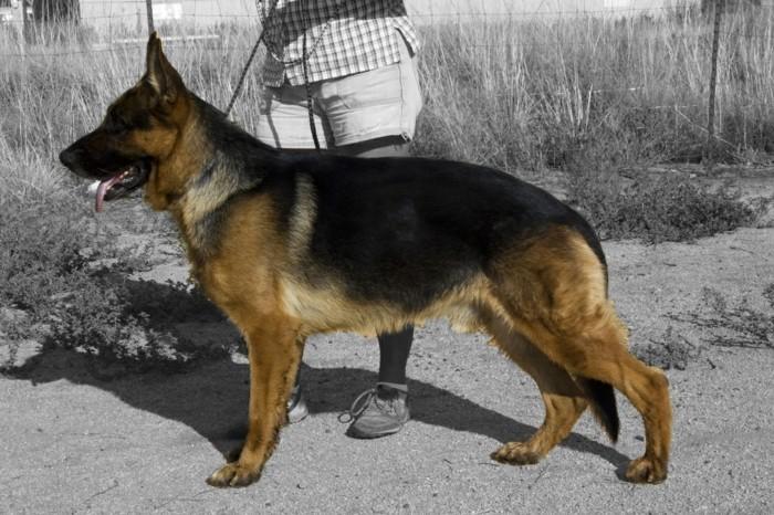 beliebte hunderassen deutscher scheferhund3