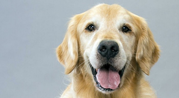 beliebte hunderassen golden retriever