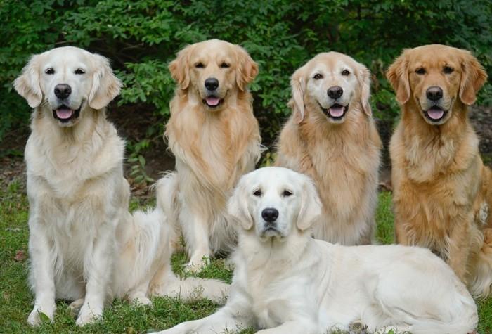beliebte hunderassen golden retriever2