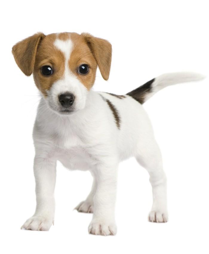 beliebte hunderassen jack russel terrier 2