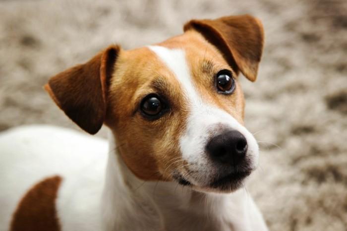 beliebte hunderassen jack russel terrier