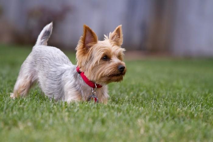 beliebte hunderassen zorkshire terrier 2