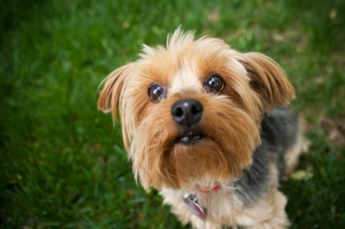 beliebte hunderassen zorkshire terrier