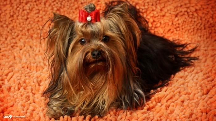 beliebte hunderassen zorkshire terrier3