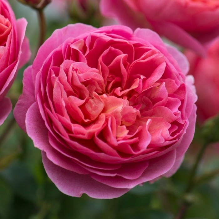 boscobel rose