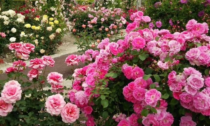 rosen verschiedener farben